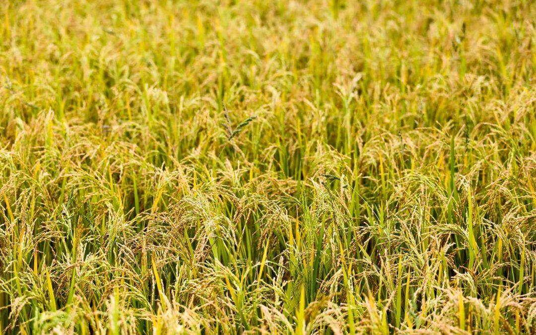 ハイブリッド米の生産はフィリピンの食料安全保障の改善に役立つ
