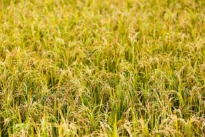 Hybrid rice production helps improve food security in the Philippines